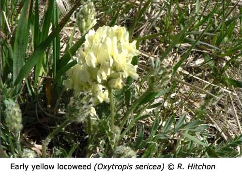 2-3-Early_locoweed_Oxytropis_sericea_RH_f