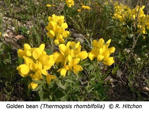 2-4-Golden_bean_Thermopsis_rhombifolia_RH_f