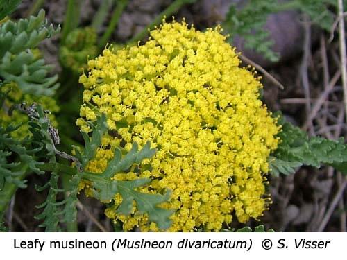 2-7-Leafy_musineon_Musineon_divaricatum_SV_f