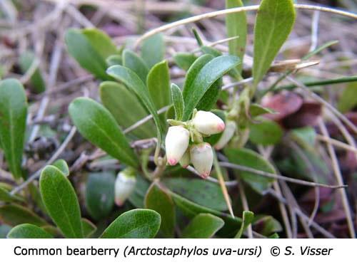 2-8-Common_bearberry_Arctostaphylos_uva_ursi_SV_f
