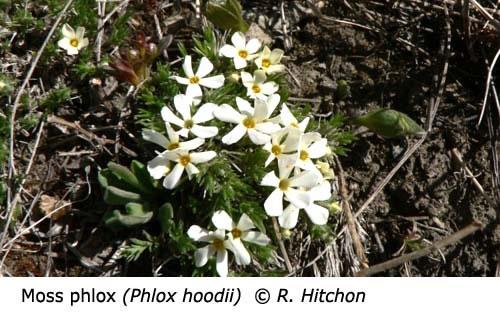 3-0-Moss_Phlox_Phlox_hoodii_RH_f