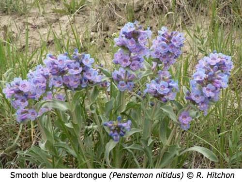 3-2-Smooth_Blue_beardtongue_Penstemon_nitidus_RH_f