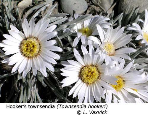 3-5-Hookers_Townsendia_Townsendia_hookeri_LV_f