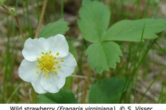 1-9-Wild_Strawberry_Fragaria_virginiana_SV_f