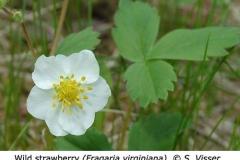 1-9-Wild_Strawberry_Fragaria_virginiana_SV_f