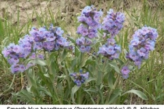 3-2-Smooth_Blue_beardtongue_Penstemon_nitidus_RH_f