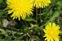 3-4-Common_Dandelion_Taraxacum_officinale_SV_f